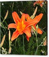 Orange Daylily Acrylic Print