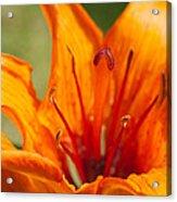 Orange Daylily Closeup Acrylic Print
