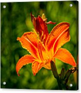 Orange Daylily Flower 3 Acrylic Print