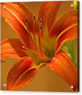 Orange Daylily Acrylic Print