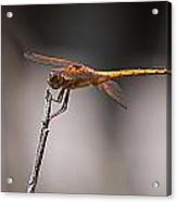 Orange Dragonfly Acrylic Print