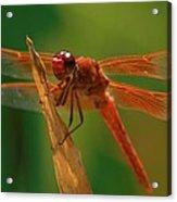 Orange Dragonfly Acrylic Print