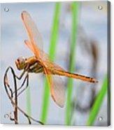 Orange Dragonfly On The Water's Edge Acrylic Print