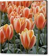 Orange Dutch Tulips Acrylic Print