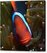 Orange Face Anemonefish Acrylic Print