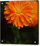 Orange Feathers Acrylic Print