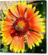 Orange Fiery Gaillardia Flower And Bee Macro Acrylic Print