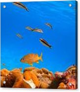 Orange Fish Acrylic Print