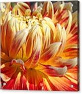 Orange Floral Art Dinner Plate Dahlia Flower Acrylic Print