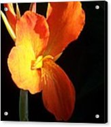 Orange Flower Canna Acrylic Print