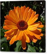 Orange Flower In The Garden Acrylic Print