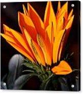 Orange Flower Acrylic Print