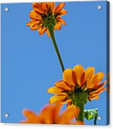 Orange Flowers On Blue Sky Acrylic Print