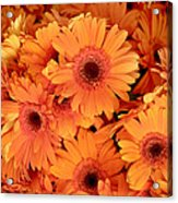Orange Gerbera Daisies Acrylic Print