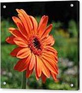 Orange Gerbera Daisy Acrylic Print