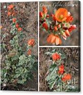 Orange Globe Mallow Collage Acrylic Print