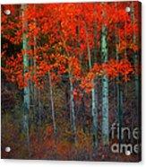 Orange Glory Acrylic Print