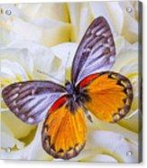 Orange Gray Butterfly Acrylic Print