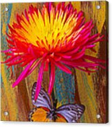 Orange Gray Butterfly On Mum Acrylic Print