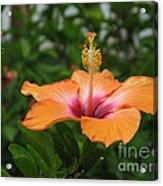 Orange Hibiscus Blossom Acrylic Print
