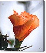 Orange Hibiscus Lax 2 Acrylic Print by Deborah Smolinske