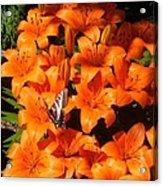 Orange Lilies Acrylic Print