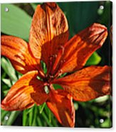 Orange Lilly Acrylic Print