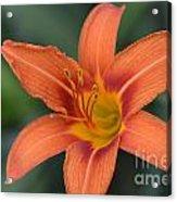 Orange Lily Photo 6 Acrylic Print