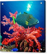 Orange-lined Triggerfish Balistapus Acrylic Print