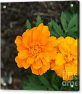 Orange Marigolds   # Acrylic Print