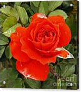 Orange Mini-rose Acrylic Print