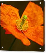 Orange Paper Poppy Acrylic Print