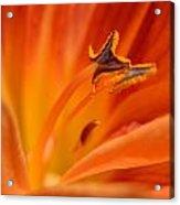 Orange Pollen Acrylic Print