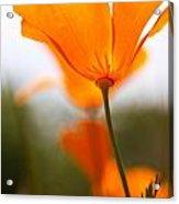 Orange Poppy In Sunlight Acrylic Print