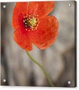 Orange Poppy Acrylic Print