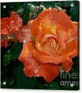 Orange Rose II Acrylic Print