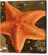 Orange Starfish In California Ocean Acrylic Print by Artist and Photographer Laura Wrede