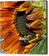 Orange Sunflower And Bee Acrylic Print
