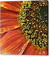 Orange Sunflower Close Up Acrylic Print
