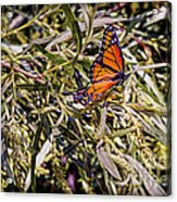 Orange Swallowtail Acrylic Print