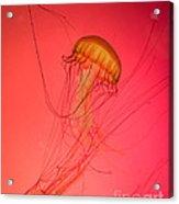 Orange Swimming Jellyfish Acrylic Print