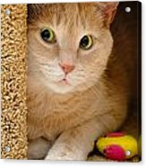 Orange Tabby Cat In Cat Condo Acrylic Print by Amy Cicconi