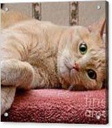 Orange Tabby Cat Lying Down Acrylic Print