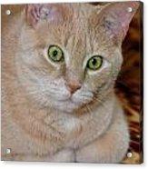 Orange Tabby Cat Poses Royally Acrylic Print