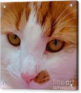 Orange Tabby Kitten Acrylic Print