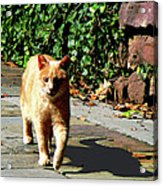 Orange Tabby Taking A Walk Acrylic Print