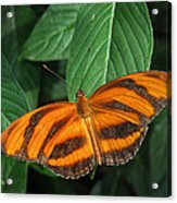 Orange Tiger Butterfly Or Banded Orange Acrylic Print