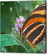 Orange Tiger Or Banded Orange Butterfly Acrylic Print