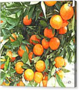 Orange Trees With Fruits On Plantation Acrylic Print