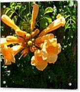 Orange Trumpets Acrylic Print